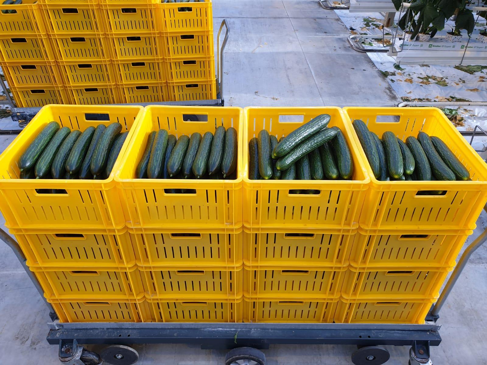 Eerste komkommers uit belichte teelt eerder dan ooit verkrijgbaar bij The Greenery