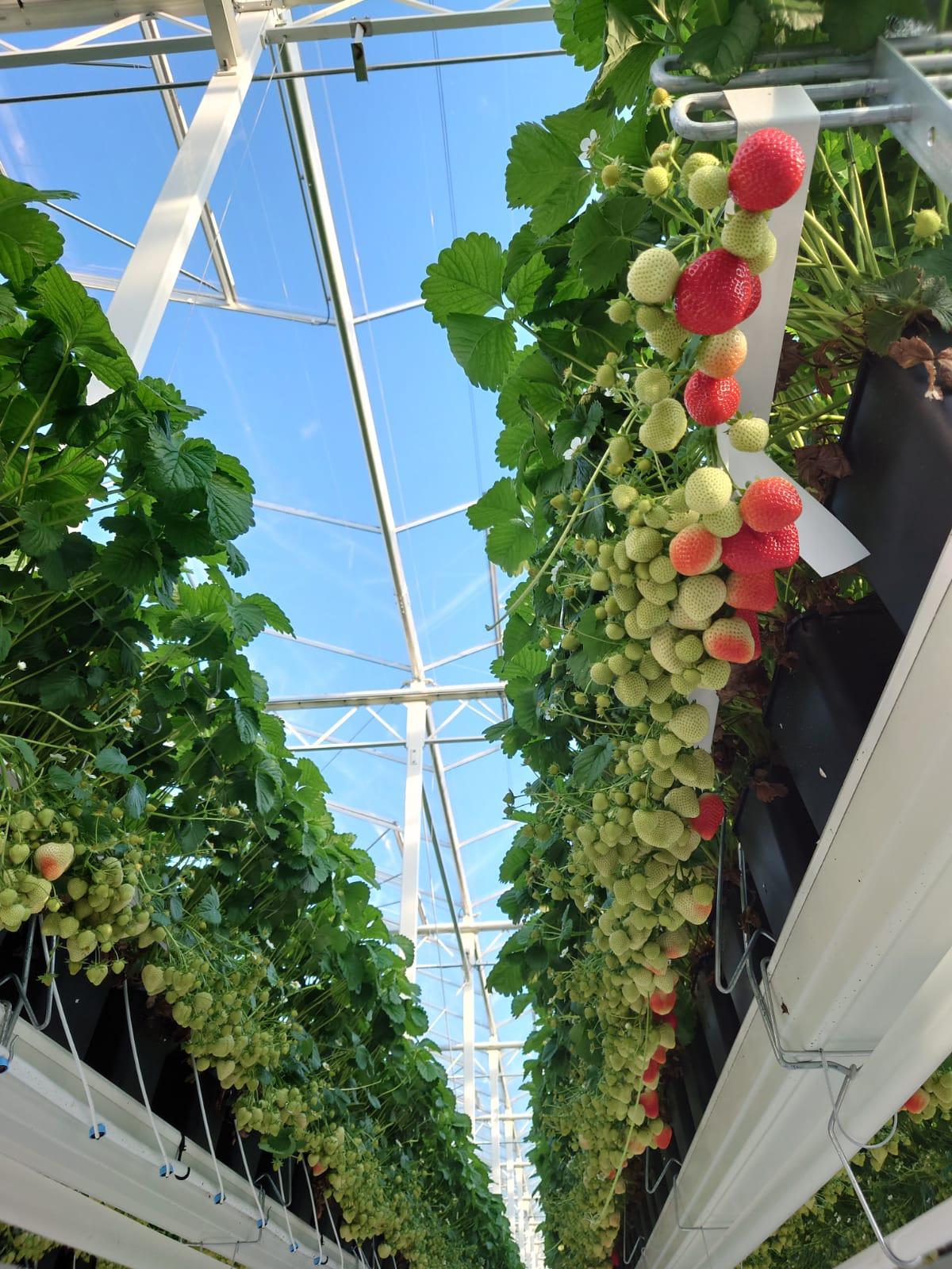 Aardbeien in de kas van VOF de Goeije Kroon